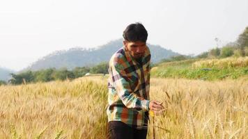 Male farmer checking yellow wheat organic in his farm