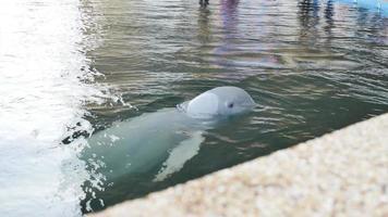 golfinho branco nadando em um lago