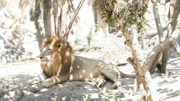 un león bajo la sombra