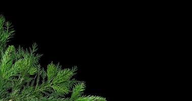 ramas verdes de fondo de pino video