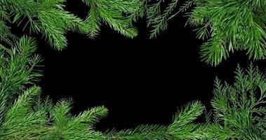 grüne Zweige des Kiefernhintergrundes