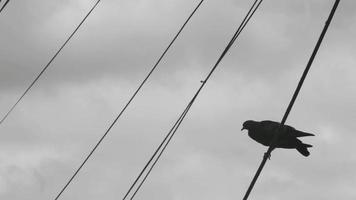 A Dove Sits on Electric Wires