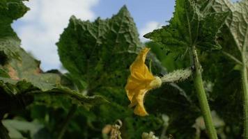 flor de pepino florescendo video