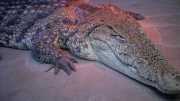 grande crocodilo de perto