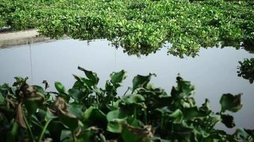 Jacinto de agua Eichhornia crassipes en un río video