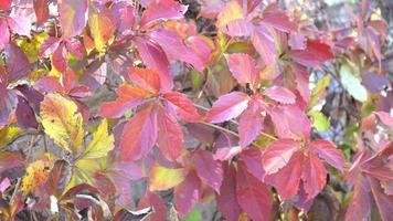 otoño hojas amarillas y rojas