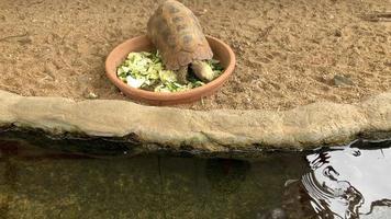 tortuga grande comiendo verduras en un tazón