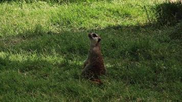 suricata em turno de sentinela video