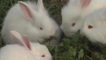 coelhos brancos comendo grama