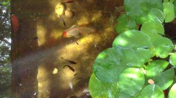 Goldfish in water pond