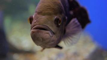 Close up of a Fish in a Aquarium