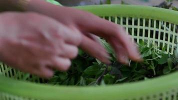 mano recogiendo hojas de albahaca video