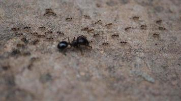 Close up of black house ants on the ground coming together in nature.