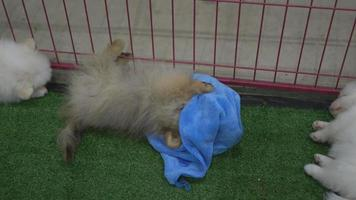 Pomeranian dogs playing with fun blue clothes video