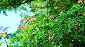 arbre de pluie, noyer des Indes orientales