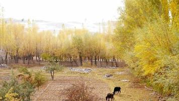 vacas pastando em cena de outono com folhas caindo