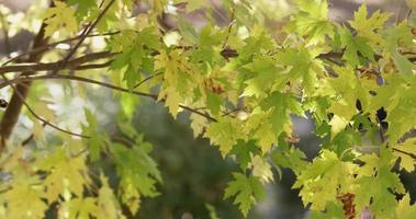 Textura natural de hojas verdes y amarillas en ramas marrones moviéndose lentamente en 4k