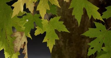 Green leaves and dry leaf on the top of the scene with defocused trunk in background in 4K