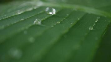 Water Drops on Tropical Green Leaf