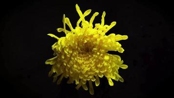 grote gele bloem met druppels in duisternis