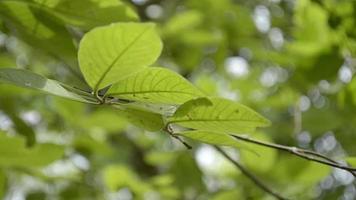 hojas verdes de un árbol que sopla el viento en verano.