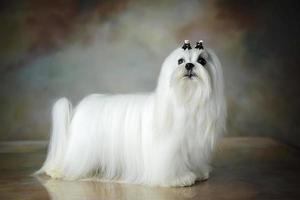 Beautiful Maltese dog photo