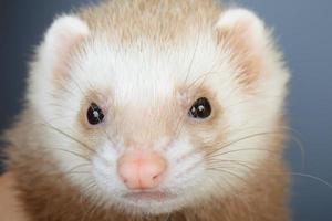 Portrait of pastel ferret