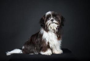 Shih tzu dog photo