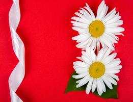Top view of daisy flowers and a white ribbon on a red background