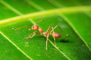 hormigas rojas, fotografía macro