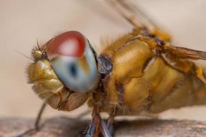 Dragonfly on a leaf photo