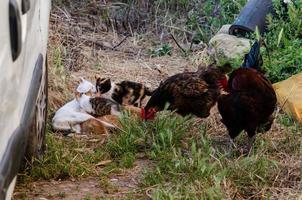 gatitos y gallos en una granja.