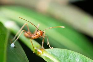 hormigas rojas, fotografía macro foto