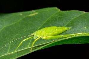 saltamontes verde en una hoja