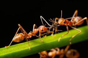 Red ants, macro photo