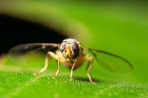 mosca de la fruta en una hoja foto