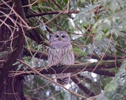 Gray owl perched on brown tree branch