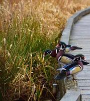 tres patos de colores