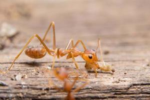 primer plano de hormiga roja