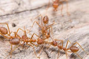 primer plano de las hormigas rojas foto