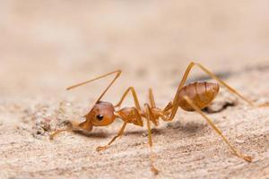 primer plano de hormiga roja foto