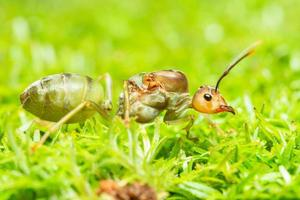 Green ant in the grass