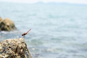 Dragonfly on a rock photo