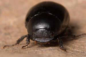 primer plano de escarabajo pelotero