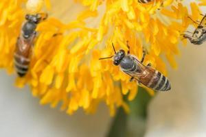 abejas en una flor amarilla foto