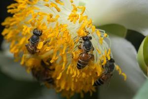 Bees on a yellow flower photo