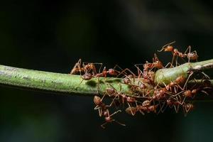 hormigas en una rama