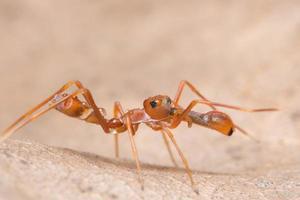 Araña saltadora parecida a una hormiga kerengga