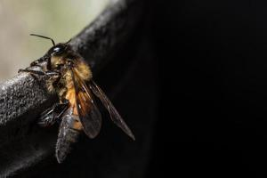 Royal Bee close-up photo