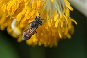 abeja en una flor amarilla foto